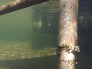 Engbretson Underwater Photography - Where to Look on Your Boat Dock for Zebra Mussels
