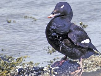 On the Wing Still waters reveal raft of deep-diving white-winged scoters