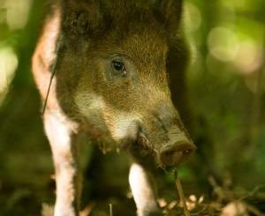 Proper Fencing Can Help Keep Out Feral Hogs