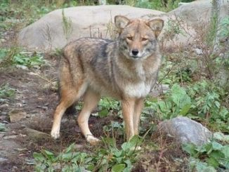 Experts howl at 'coywolf' headlines; limited NH hunting season called for