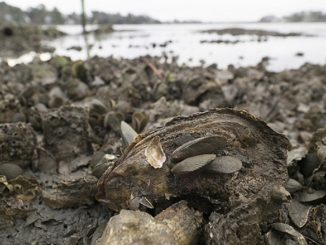 10 Billion More Oysters In The Chesapeake Bay