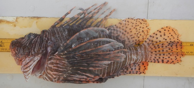 NOAA Seeks Comment on Test Trapping for Lionfish