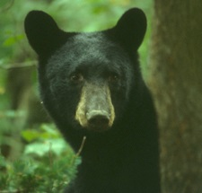 NYS DEC - Avoid Problems with Bears