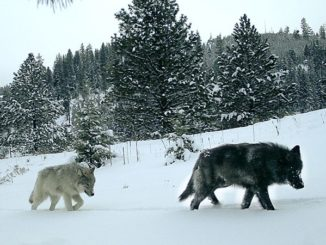Oregon Wolf Program Updates