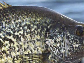 Tube Tricks For Spring Panfish