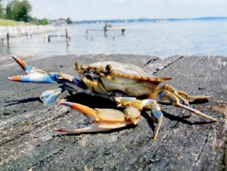Chesapeake Bay Blue Crab Population Healthy