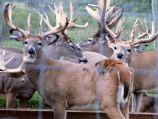 Boone and Crockett Club: Wild, not Domestic