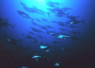 Some Good News for Pacific Bluefin Tuna