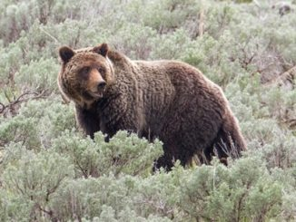 RMEF, SAF Oppose Yellowstone Grizzly Ruling
