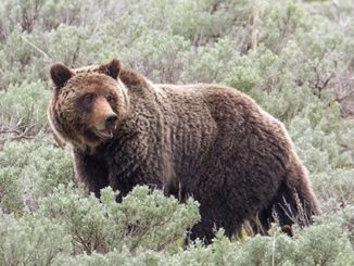 RMEF, SAF Support The Of Delist Yellowstone Grizzlies