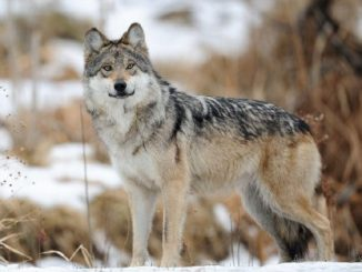 Man Pleads Guilty to Wolf Killing in Arizona