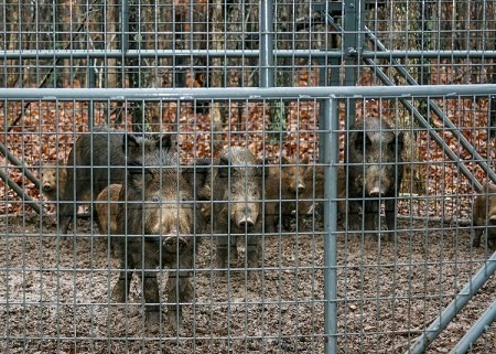 Missouri Conservationist-Closing in on Feral Hogs