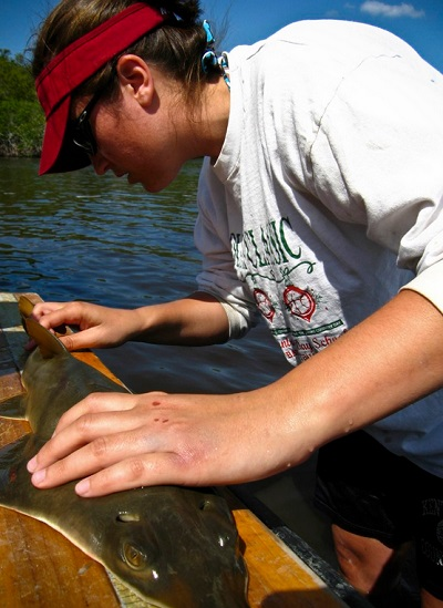 Helping The Smalltooth Sawfish