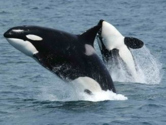 Washington State's Killer Whale Task Force Update