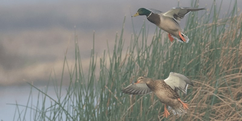5 Major Tips for Duck Hunting in The Rain That Every Hunter Should Follow