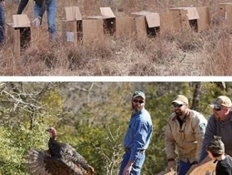 North Carolina Turkey Trap and Release Efforts Will Boost Texas Turkey Populations