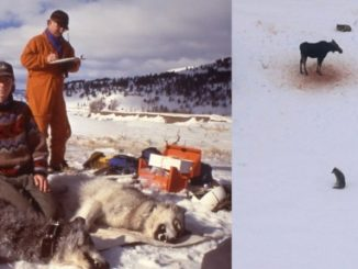 Wolf Alert! Please Read And Click On Link. Wolves to Junk Science