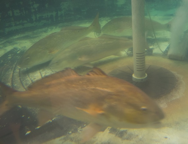 CCA Florida Begins Release of 10,000+ Redfish in SW FL Waters