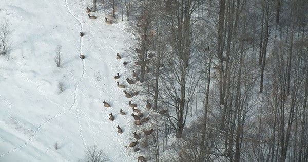 Michigan Elk Update