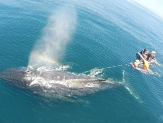 New Online Training for Boaters who Encounter Entangled Whales
