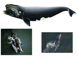 North Atlantic Right Whales Return to the Southeast