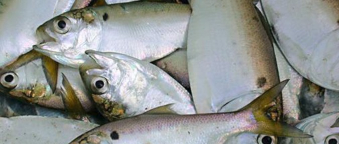 Science, Not Politics, Should Guide Management of Menhaden