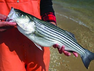 Search the Bay Journal site- Striped bass population in trouble, new study finds