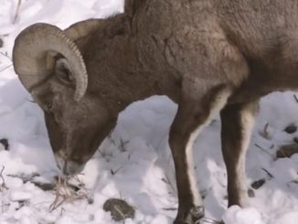 Wild Sheep Foundation News