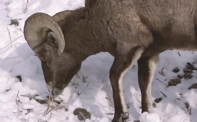Wild Sheep Foundation News