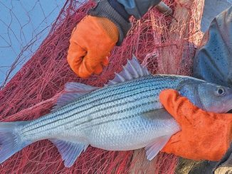ASMFC expected to set stricter regs for harvesting striped bass