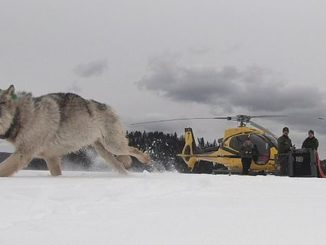 Moose Population In Remote Location Now Being Control By Wolves