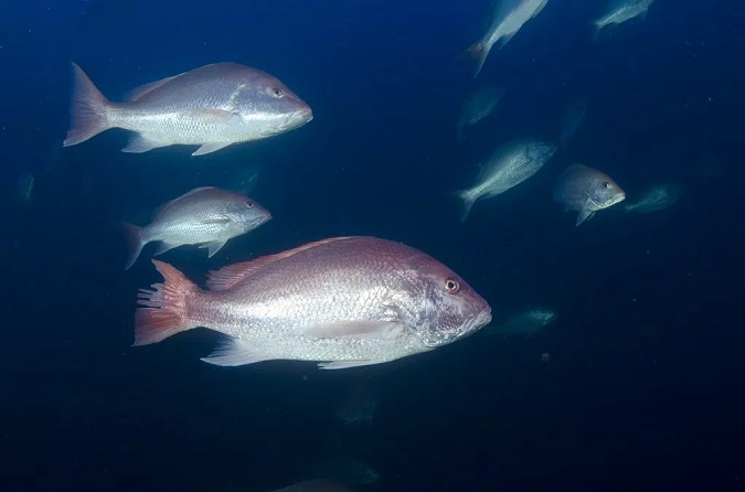 Texas PWD Sets Federal Red Snapper Season