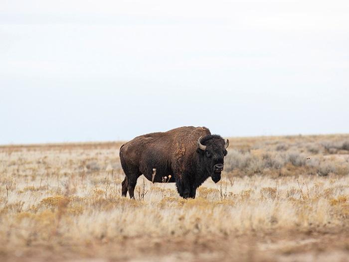 Antelope Island bison safety tips