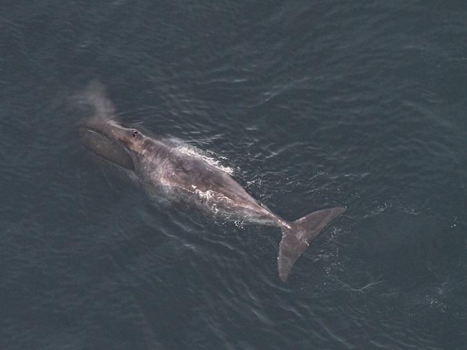 Lone Bowhead Whale Sighted in Gulf of Maine