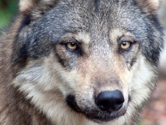Effort Begins to Forcibly Place Wolves into Colorado