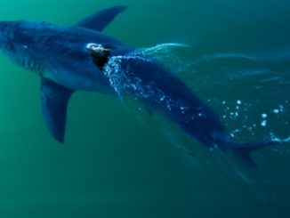 Fox News Reports - Great 1668 lbs White Shark Off The FL Panhandle