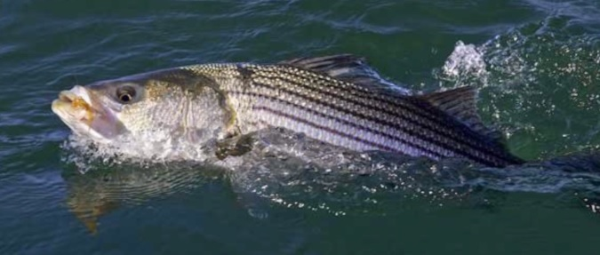 THE 2019 NORTHEAST STRIPED BASS STUDY