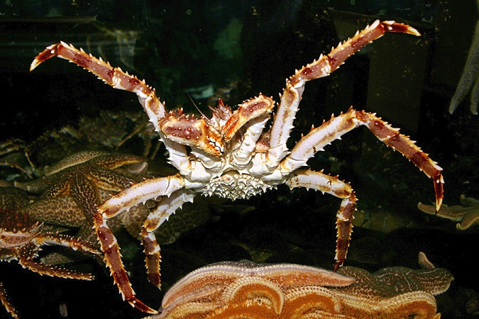 10 Ways Red King Crabs Rule