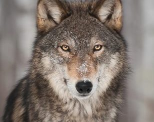 By one vote, Minnesota House moves to ban wolf hunting