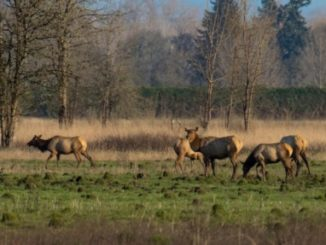 Oregon Elk, Habitat Get $355,000 in RMEF Grants