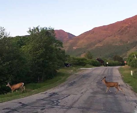 QDMA Commends Utah DWR Decision to Stop Deer Relocation