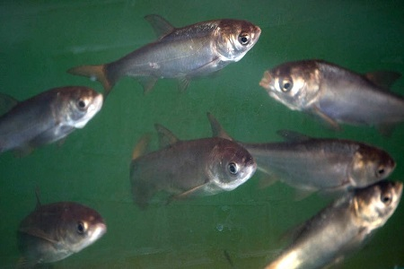 Army Corps Approves Plan to Block Asian Carp from Great Lakes