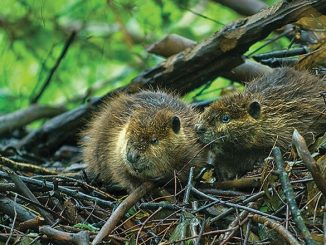 Leave it to beavers- Species' ability to alter land should be revisited