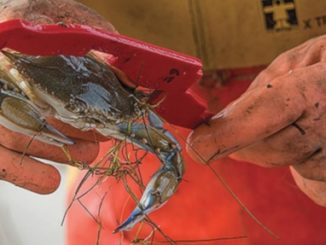 Low salinity suspected for poor crab harvest in Upper Chesapeake