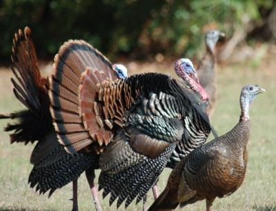 Florida - A wild turkey twist on a Thanksgiving tradition
