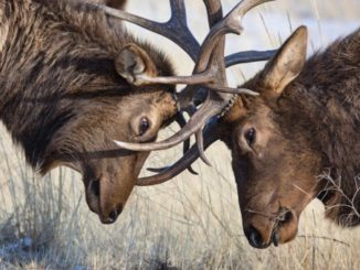 Arizona Elk Habitat Gets $1.3 Million Upgrade