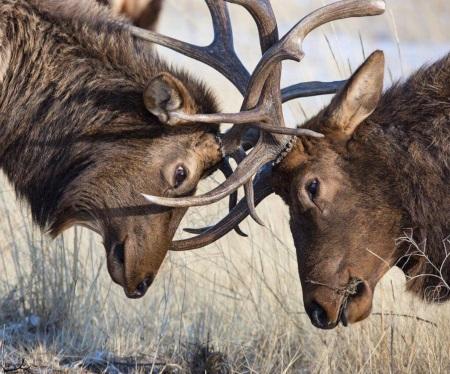 Arizona Elk Habitat Gets $1.3 Million Upgrade